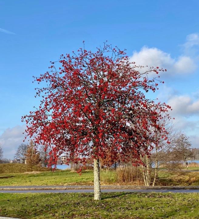 Tree in Vaxjo