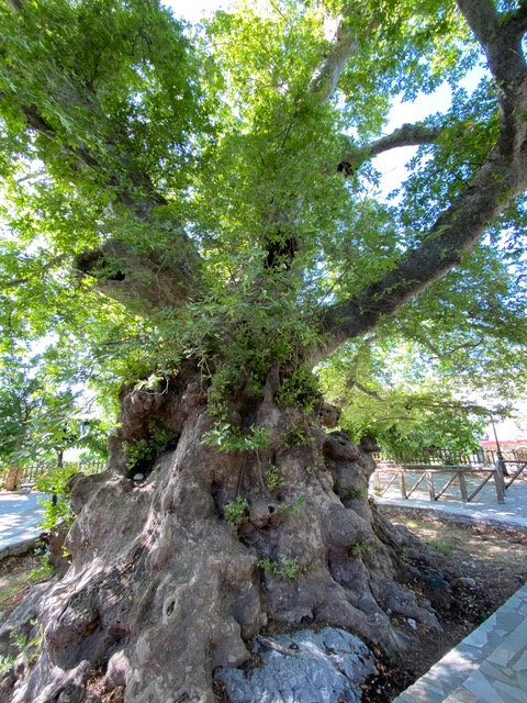 ancient oak Crete